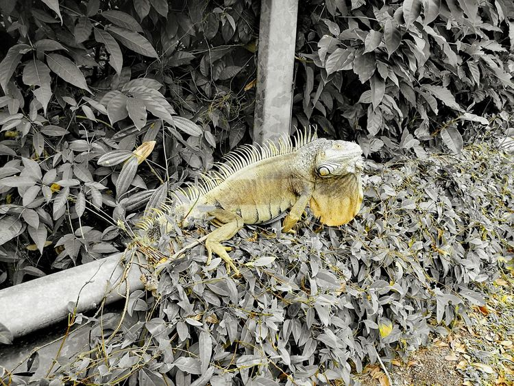 Malayan Iguana Nature No People Outdoors Escaping Urban Jungle Singapore By The Roadside EyeEmNewHere EyeEmNewHere EyeEmNewHere