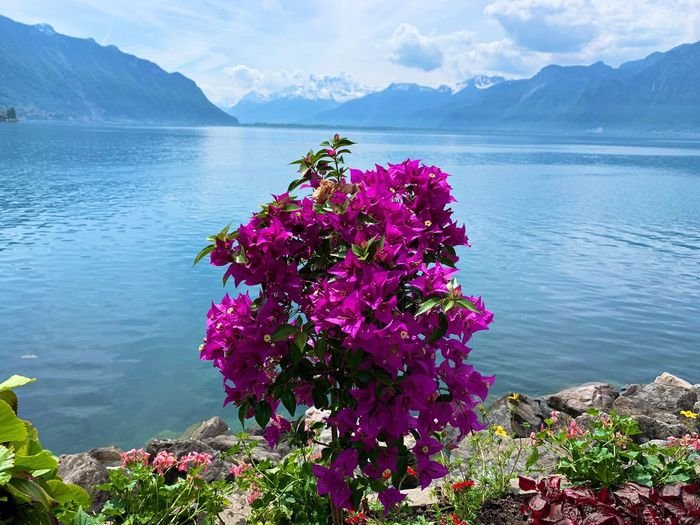How beautiful nature can be and give this feeling of calm inside. Lake Switzerland Flowering Plant Flower Water Beauty In Nature Plant Mountain Nature Scenics - Nature Tranquil Scene Mountain Range Tranquility Outdoors
