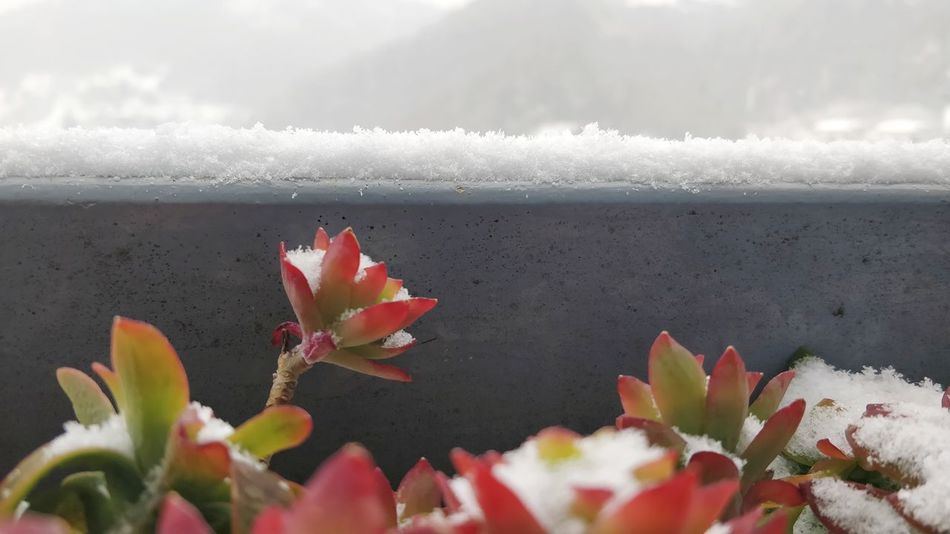 Il fiore dell'inverno. Wintertime Snow Water Flower Sea Beach Red Prickly Pear Cactus Sky Close-up Plant Flowering Plant Blooming Plant Life Succulent Plant Snow Covered