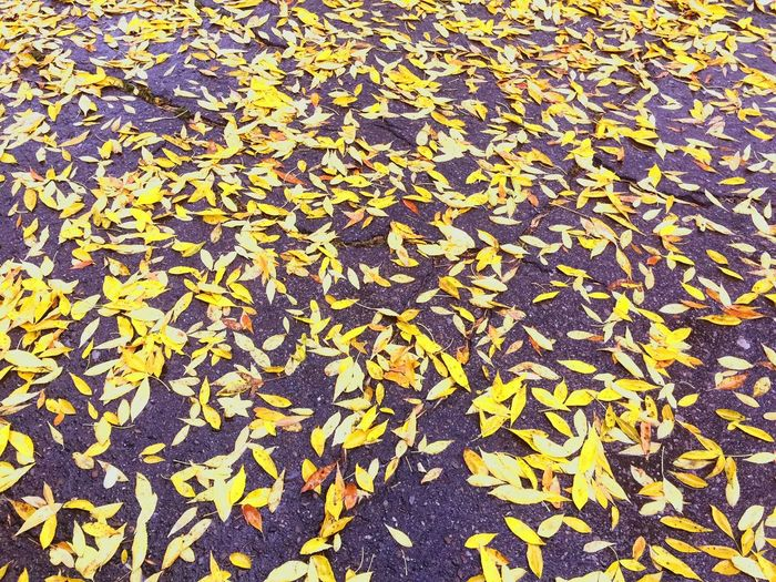 Leaf Autumn Leaves Yellow Fallen Nature Outdoors Beauty In Nature Day Backgrounds No People