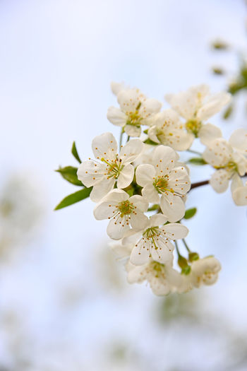 Close up cherry blossom over blue sky Close-up Plant Flowering Plant Flower Fragility Vulnerability  Growth Beauty In Nature Tree Freshness Blossom Branch White Color Springtime Twig Focus On Foreground Nature Petal Fruit Tree Flower Head No People Cherry Blossom Pollen Cherry Tree Season  Copy Space