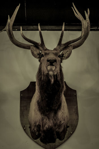 Eyeem Philippines Photograph Representing Studio Shot Close-up Animal Body Part Stag Reindeer Horned Antler Rhinoceros Bull - Animal Animal Skull Buffalo Highland Cattle Stuffed Symmetry Modern Art Confined Space Engraved Image Deer Water Buffalo Tundra Taxidermy Fawn Moose