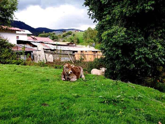 Cute friends💚🌈✨ Animal Themes Grass Tree Green Color Domestic Animals Porcon Farm Laviniafenton Eye4photography  EyeEm Gallery EyeEm EyeEmNewHere First Eyeem Photo Nature Field Landscape Beauty In Nature Cow Sheep