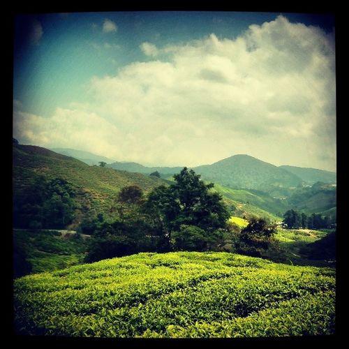Cameronhighlands Tea