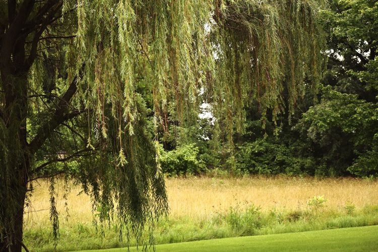 Weeping willow tree Plant Tree Growth Beauty In Nature Green Color Land Tranquility No People Nature Tranquil Scene Field Day Landscape Grass Scenics - Nature Outdoors Sunlight Environment Idyllic Lush Foliage