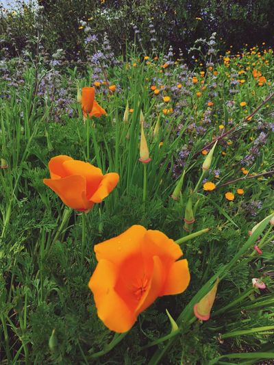Flower Petal Orange Color Growth Freshness Beauty In Nature Nature Poppy Blooming Springtime