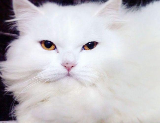 Shenia 📷 One Animal White Color Domestic Cat Domestic Animals Feline No People