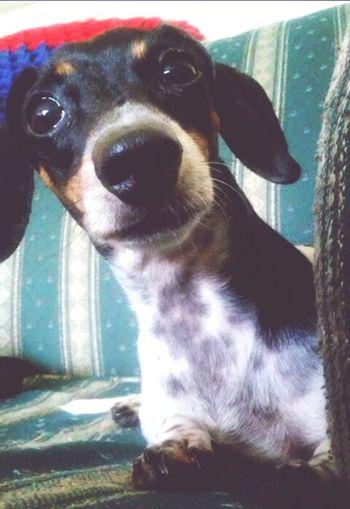 My Dog <3 Dogstagram Weeniedog Miniaturedachshund