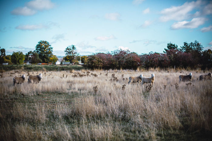 Animal Themes Beauty In Nature Domestic Animals Field Grass Grazing Landscape Large Group Of Animals Mammal Nature Outdoors Sheep Sky Tree