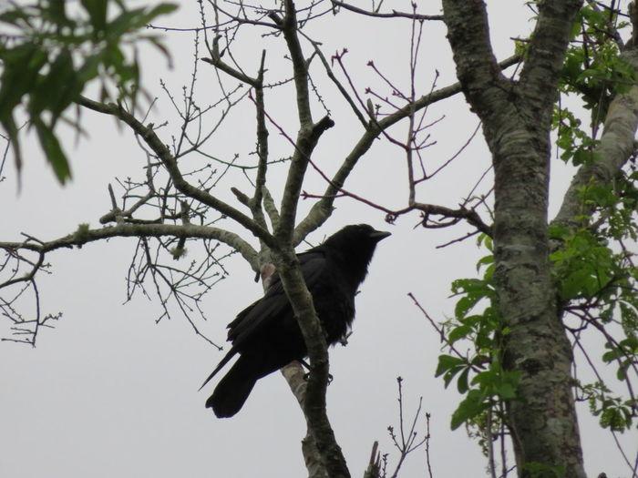 Black bird on gray day Black Birds Black Bird Birds Bird Of Prey Bird Tree Perching Branch Full Length Wilderness Sky Tree Area