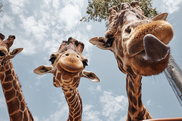 Two huge giraffes pulling out their tongues to be photographed.