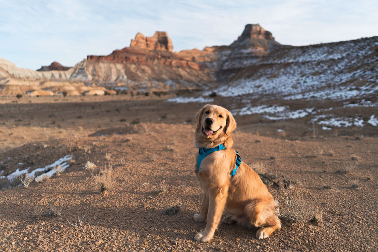 Golden Retriever One Animal Canine Dog Pets Animal Themes Mammal Domestic Animal Domestic Animals Vertebrate Land Nature No People Day Looking Mountain Rock Focus On Foreground Pet Collar Collar Rock Land Solid Nature Sitting Looking Away