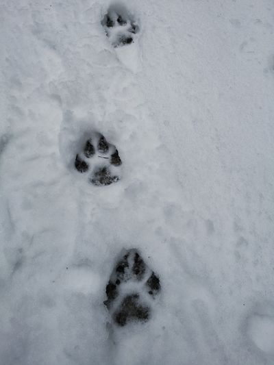 Traces in the snow Traces In The Snow Tracks In Snow Dog Traces Wolf Tracks Snow Cold Temperature Winter Paw Print Paw FootPrint Animal Track Close-up Wolf