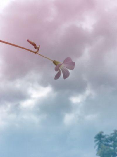 ในม่านเมฆ Flower Beauty In Nature Nature Fragility Sky Cloud - Sky Petal Low Angle View Freshness Growth Day No People Outdoors Flower Head Close-up Blooming Beauty In Nature ดอกไม้บ้านแม่กะพ่อ