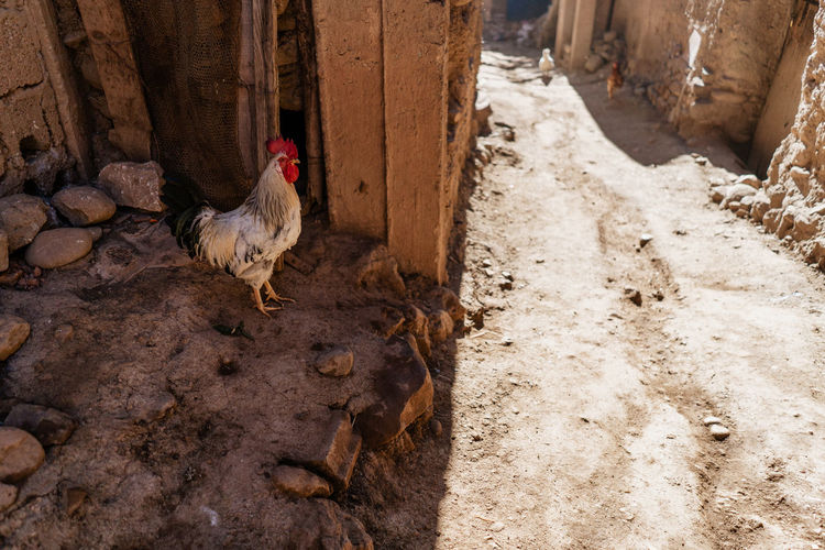 Marrakesh Marrakech Morocco Atlas Mountain Atlas Mountains Berber  Berbervillage Travel Destinations Travel Travel Photography No People Domestic Animals Chicken - Bird Outdoors Dirt One Animal Bird Domestic Livestock