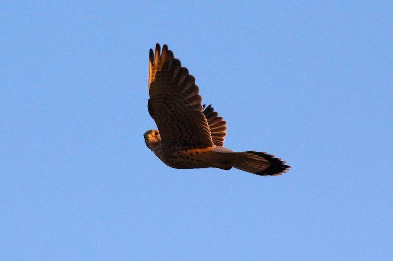 Hawk Animal Bird Birdwatching Birds In Flight Birds Wildlife Wildlife Nature Tempelhofer Feld Berlin