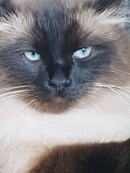 EyeEmNewHere Love ♥ Mishka Blue Eyes Domestic Cat Feline Pets Looking At Camera Portrait Domestic Animals Whisker Eye Animal Hair One Animal Close-up Animal Head  Mammal Animal Themes No People Day