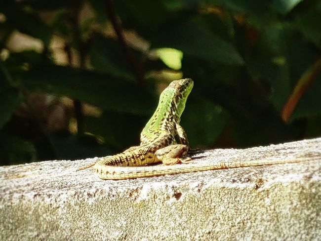 Lizard Lizards Wall Sunny Animal Animels Nature