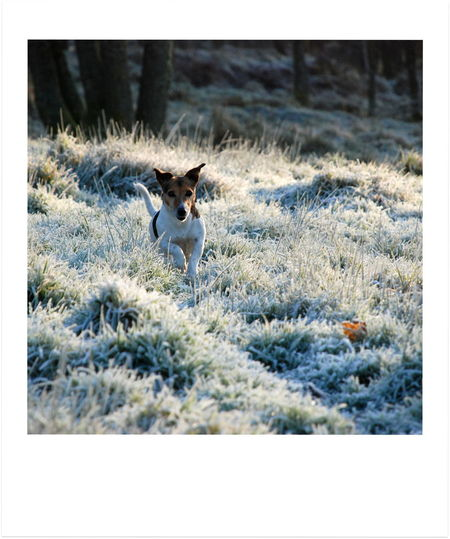 Jack Russell Winter Dog Walk Alertness Animal Themes Day Dog Domestic Animals Frosty Mornings Grass Nature No People One Animal Outdoors Pets Running Dog