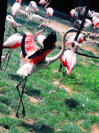 Animal Representation Animal Themes Beauty In Nature Bird Nature Phoenicopterus Pink Color