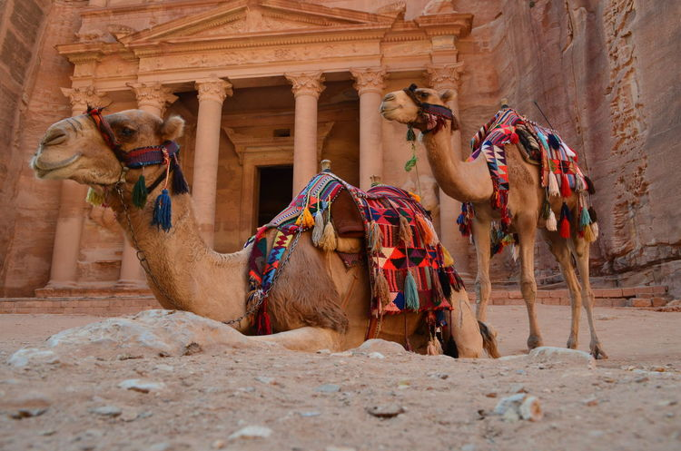 Jordan Petra Petra Jordan Animal Themes Built Structure Camel Camels Domestic Animals Felsenstadt No People Temple Temple - Building