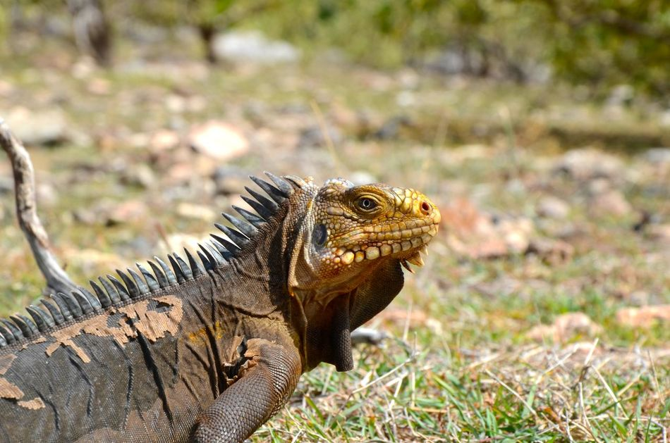Animal Animal Photography Animal Themes Animals In The Wild Beauty In Nature Caraib Day Field Focus On Foreground Guadeloupe Iguana Iguana Island La Désirade Natural Pattern Nature No People Outdoors Selective Focus Wildlife