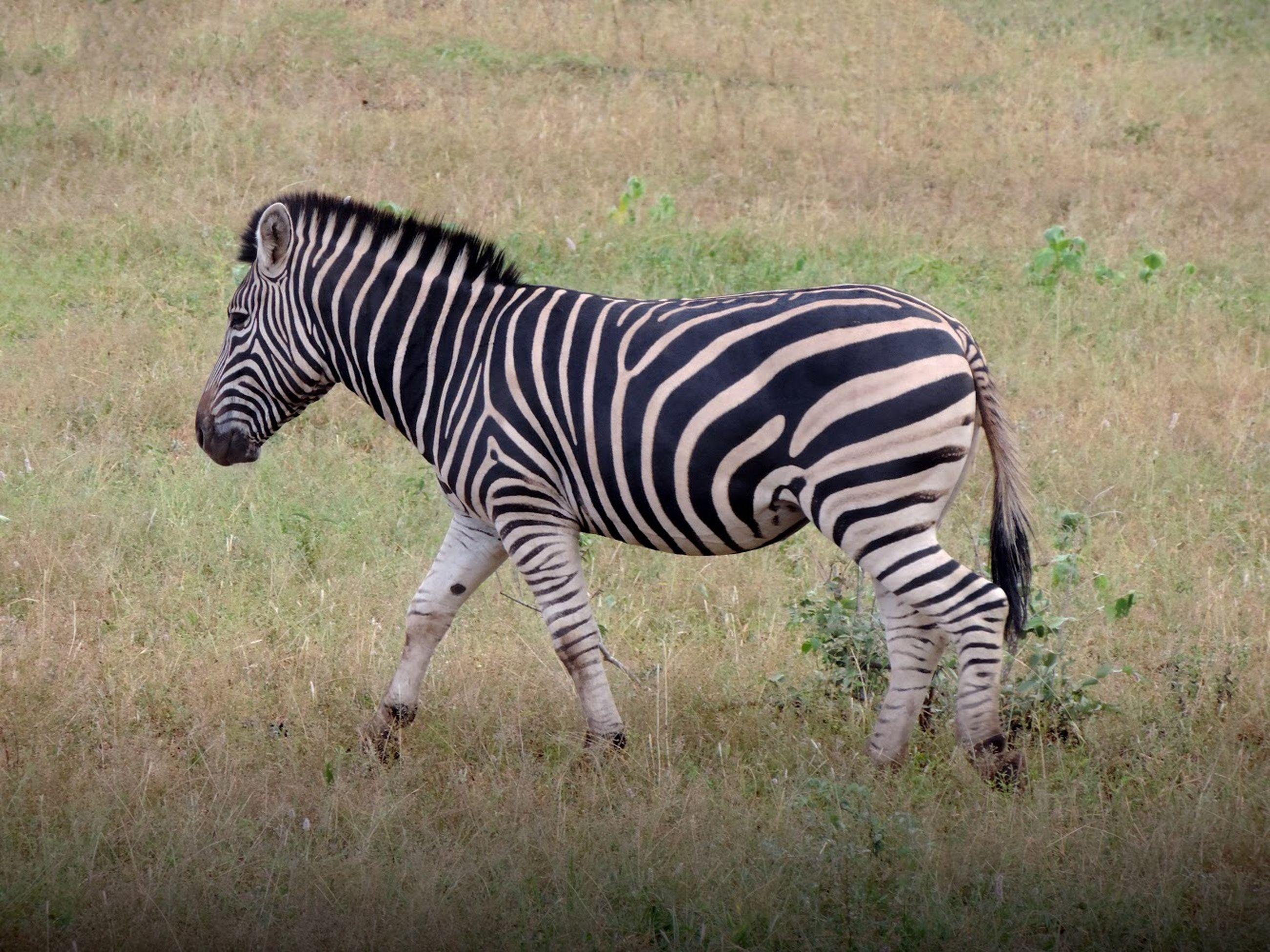 striped, animal wildlife, animal, animal themes, animals in the wild, mammal, zebra, one animal, grass, nature, plant, no people, field, vertebrate, safari, land, herbivorous, standing, domestic animals, animal markings, outdoors