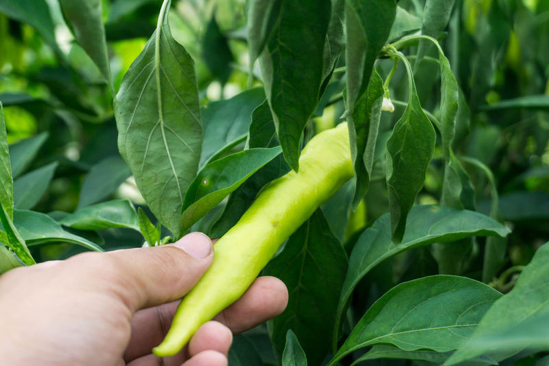 Cropped hand of person holding green chili pepper growing on plant in farm