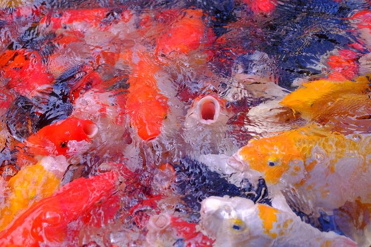 Fancy carp fish in pool Animal Carp Fish Color Colorful Fancy Carp Fancy Carp Fish Feed  Fish Masses Pool Swarm