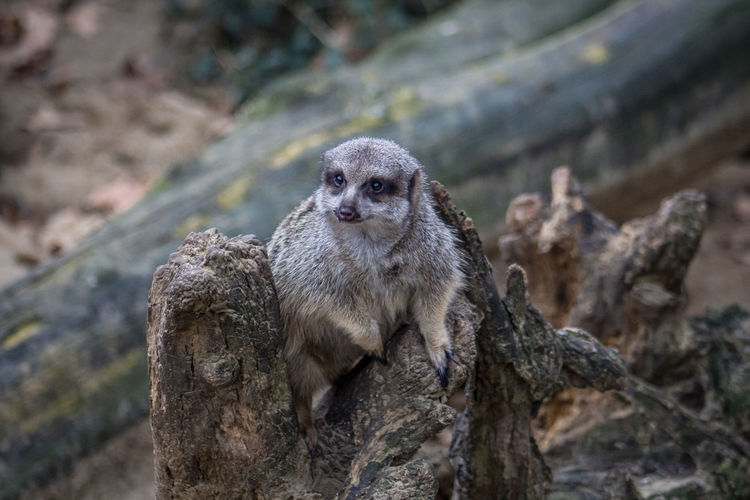 One Animal Animal Wildlife No People Day Nature Close-up Mammal Focus On Foreground Tree Portrait Looking At Camera Meerkat Vertebrate Looking Outdoors Observing Zoo Zoology Zoo Animals  Zoophotography Trunk Land Rock - Object Meerkats Animal