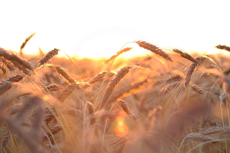 05:30 i made this picture :D Morning Wheat Agriculture Beauty In Nature Cereal Plant Close-up Crop  Day Field Growth Land Landscape Morning Lights Nature Near Wheat No People Outdoors Plant Rural Scene Scenics - Nature Selective Focus Sky Tranquility Wheat Wheatfield