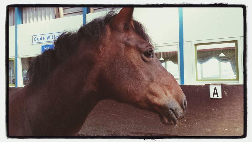 Horse haflo