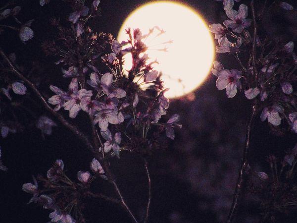 眠って起きたらキミがいない気がする。 Streetphotography Tokyo,Japan Sakura Blue Moon Full Moon No Standard World Flower Beauty In Nature Nature Stories From The City Blossom