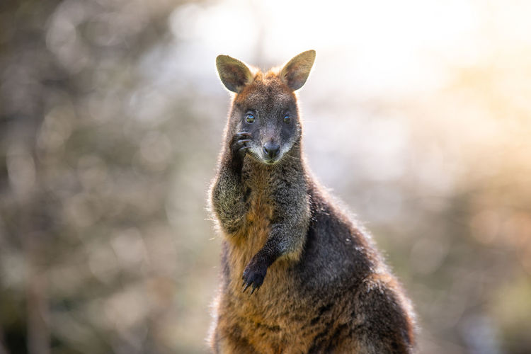 Swamp Wallaby backlit in the sun. Endangered Species Wallabia Bicolor Animal Wildlife Animals Animals In The Wild Black Wallaby Black-tailed Wallaby Close-up Kangaroo Looking Looking At Camera Mammal Marsupial Nature No People One Animal Portrait Sun Sunshine Swamp Wallaby Wallaby