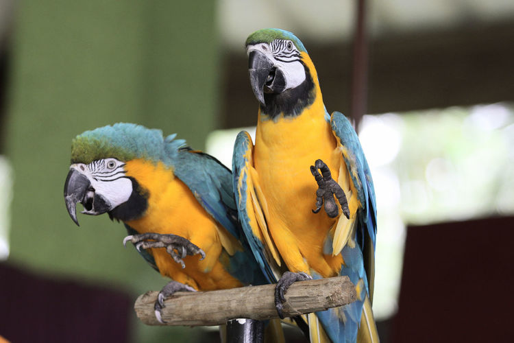 Close-up of two parrots perching on wood