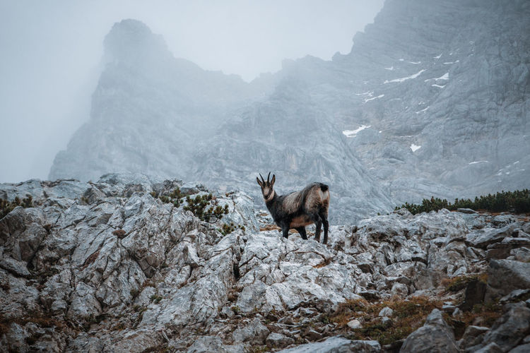 Chamois  standing on rock against mountains