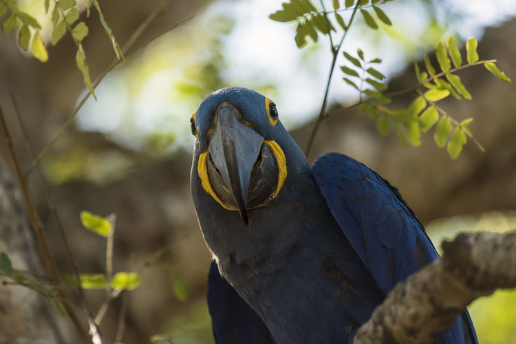 Animal Themes Animal Wildlife Animals In The Wild Beak Beauty In Nature Bird Branch Close-up Day Focus On Foreground Gold And Blue Macaw Hyacinth Macaw Macaw Nature No People One Animal Outdoors Pantanal