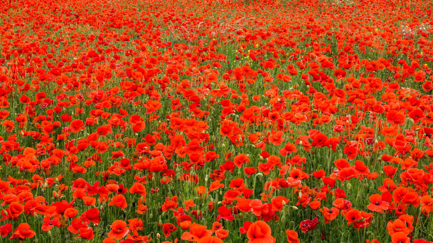 British Legion Flanders Flanders Fields Abundance Backgrounds Beauty In Nature Day Field Flower Flower Head Flowerbed Flowering Plant Fragility Freshness Full Frame Gardening Growth Land Landscape Nature No People Outdoors Plant Poppy Field Poppy Flowers Red Remberance Springtime Tulip Vibrant Color Vulnerability  Ww1 Ww1 Memorial