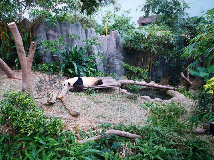 Showcase April Panda Kai Kai Giantpanda PANDA ♡♡ Sleeping Panda Nature_collection EyeEm Nature Lover EyeEm Animal Lover Greenery Pandas♥ Panda Bear Zoophotography Riversafari,singapore