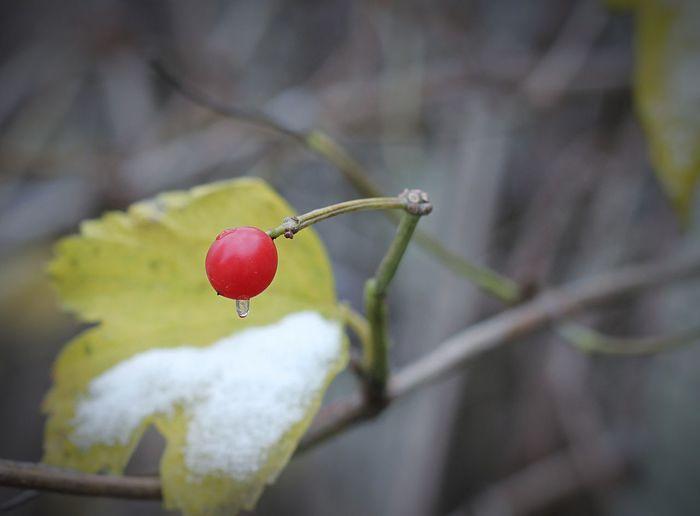 北京 初雪 ❄️ Viburnum Dilatatum Red Water Winter Red Cold Temperature Outdoors Botany White Color