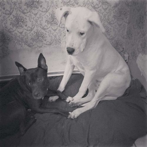 Loki&Unik American Staffordshire Terrier Dogue Argentin Black&white Ying Yang Friends Pitbulllover Not Dangerous