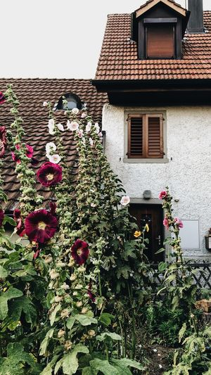 romantic garden in front of cottage Swiss Town Old House Little Cottage Summer Feeling Summer Summer Garden House And Garden Garden Summer Flower Swiss Village Swiss Cottage Plant Growth Flower Flowering Plant Nature No People Beauty In Nature Wall - Building Feature Ivy Window Day