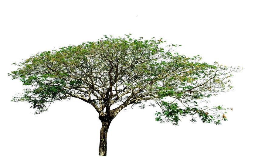 Tree White