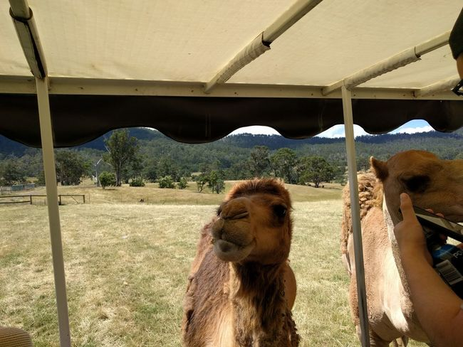 Animal Animal Themes Camel Mobilephotography Travel Destinations NoEditNoFilter Tasmania Hobart Pets Sand Sky Close-up