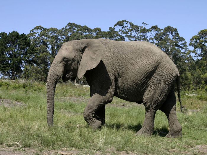 African Elephant Animal Themes Animal Trunk Animal Wildlife Animals In The Wild Beauty In Nature Day Elephant Grass Landscape Mammal Nature No People One Animal Outdoors Safari Animals Side View Sky Standing Tree Tusk