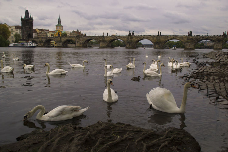 Prague Czech Republic Architecture Travel Traveling Bird Swan Animal Wildlife Animals In The Wild Group Of Animals Built Structure Nature Swimming Floating On Water EyeEm Best Shots EyeEm Nature Lover EyeEm Best Edits
