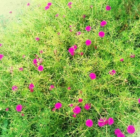 Pink Color Flower Grass 9'oclockmorningflower