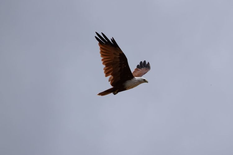 Animal Themes Animals In The Wild Beak Beauty In Nature Bird Blue Brahmani Kite Clear Sky Copy Space Eagle - Bird Flapping Flight Flying Low Angle View Nature No People One Animal Outdoors Raven - Bird Side View Spread Wings Tranquility Wildlife Zoology