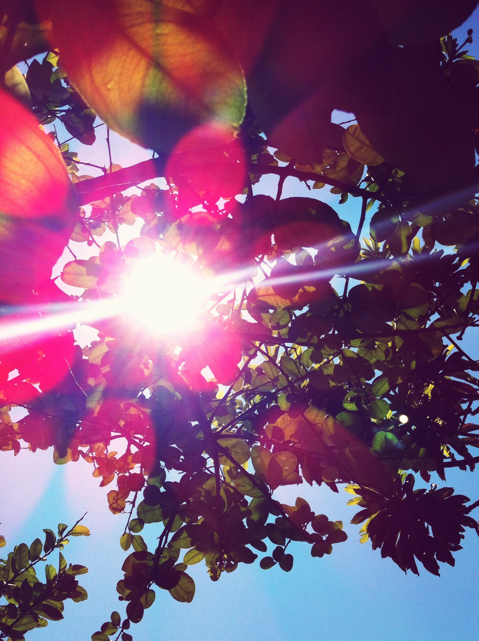 low angle view, branch, tree, sun, growth, sunlight, red, nature, leaf, beauty in nature, lens flare, clear sky, sunbeam, day, outdoors, hanging, sky, no people, close-up, freshness