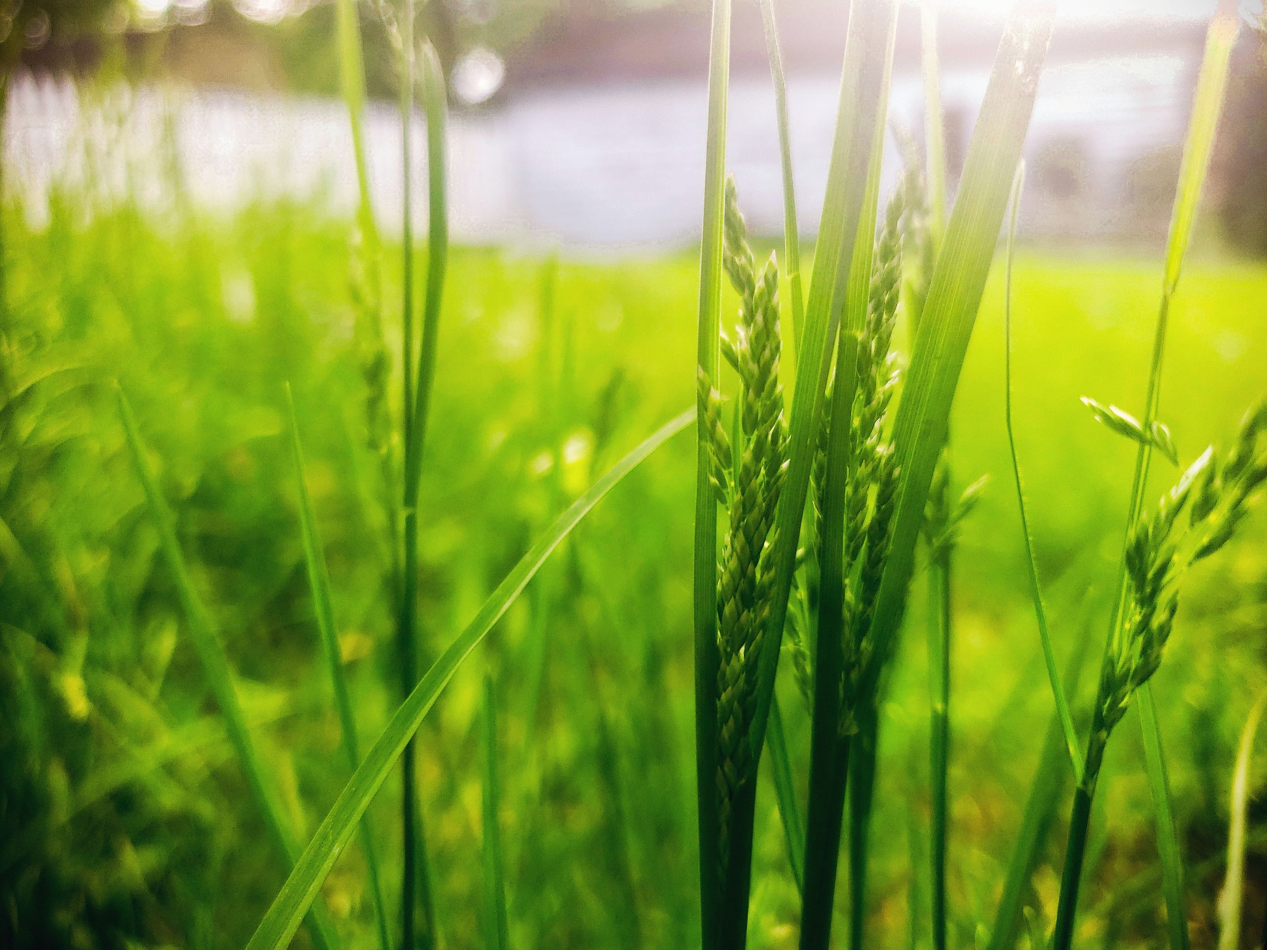 green color, plant, growth, land, field, beauty in nature, grass, agriculture, close-up, nature, focus on foreground, crop, no people, day, tranquility, farm, rural scene, landscape, cereal plant, freshness, blade of grass, outdoors